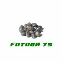 HANFSAMEN FUTURA 75