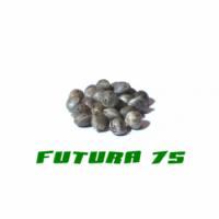 HANFSAMEN FUTURA 75 - 200Stk