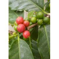 Arabica-Hochlandkaffee / 10 Samen