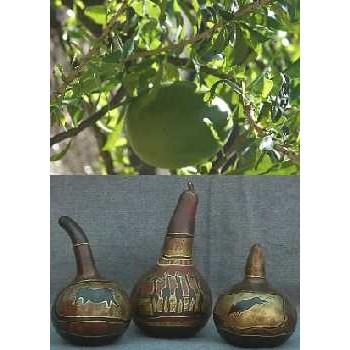 Afrikanische Riesenkalebasse / 15 Samen
