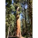 Riesen-Mammutbaum / 110 Samen