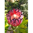 Pink Mink-Protea / 5 Samen