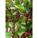 Indischer Malabarspinat / 35 Samen