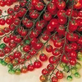 Cherrytomate Zuckertraube