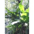 Darjeeling Banane