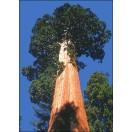 Berg-Mammutbaum / 50 Samen