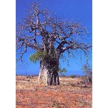 Affenbrotbaum / 6 Samen