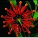 Australischer Feuerradbaum / 20 Samen