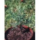 Berg - Mammutbaum Sequoiadendron gigantea