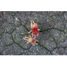 Amblyseius californicus Raubmilben 500 Beutel