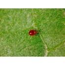 Amblyseius degenerans Raubmilben gegen Thripse und Spinnmilben 500Stk