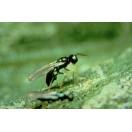 Diglyphus isaea Schlupfwespe gegen Minierfliegen 250 Adulte