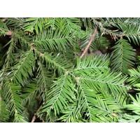 Küsten-Mammutbaum (Sequoia sempervirens) Jung-Pflanze